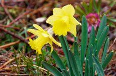 黄スイセンの花