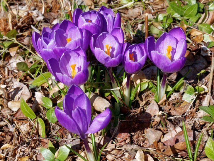 クロッカスの紫色の花