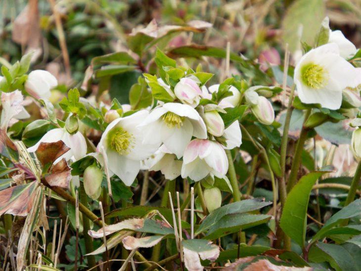 クリスマスローズ スノーホワイトの花