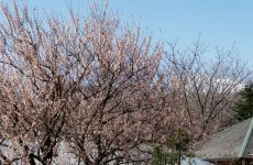 暖地桜桃(さくらんぼ)の花