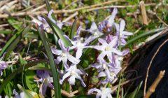 チオノドクサ・ピンクジャイアントの花