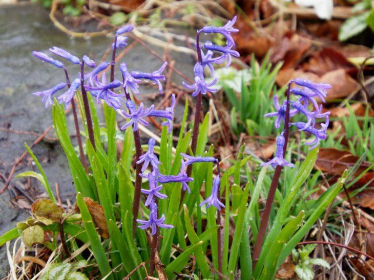ローマン系ヒヤシンスの花