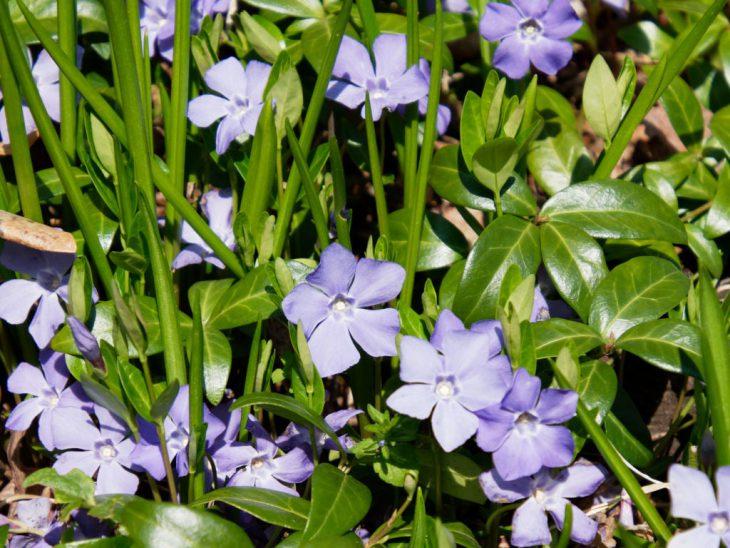 ヒメツルニチニチソウの花