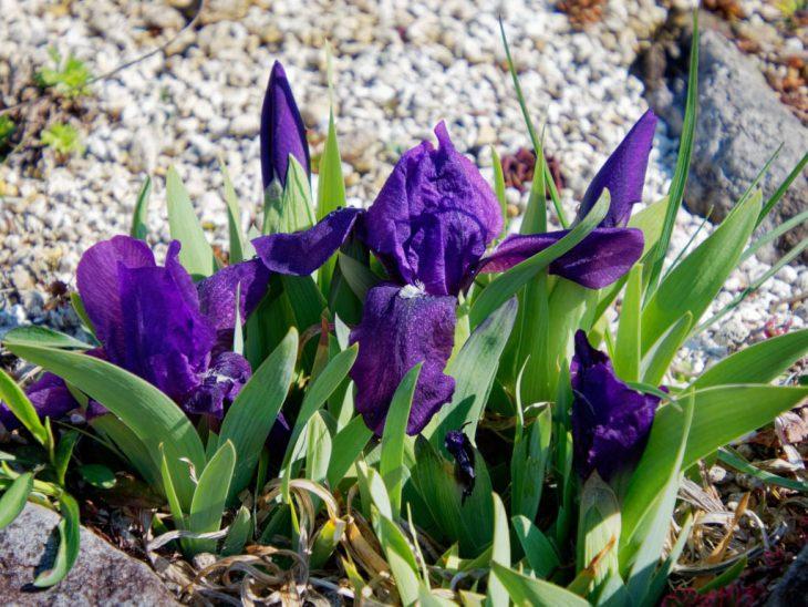 ナンキンアヤメの花