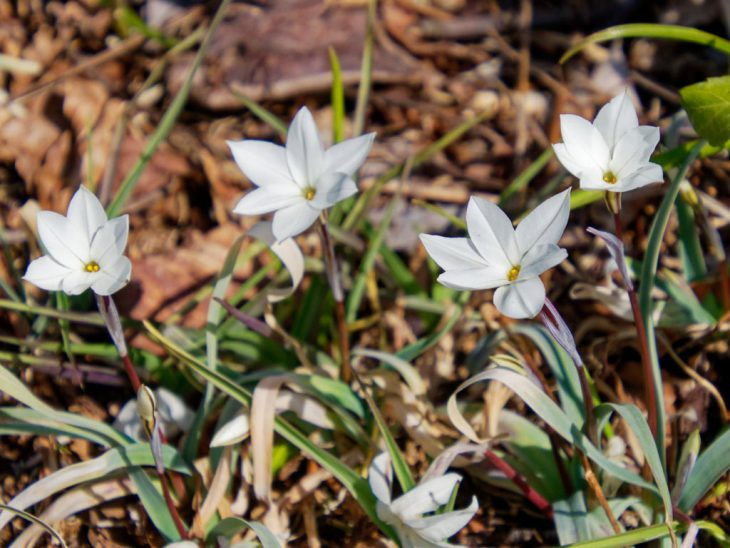 白花ハナニラ