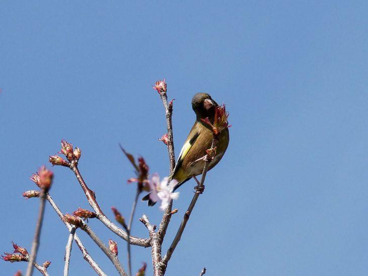 桜の枝にカワラヒワ