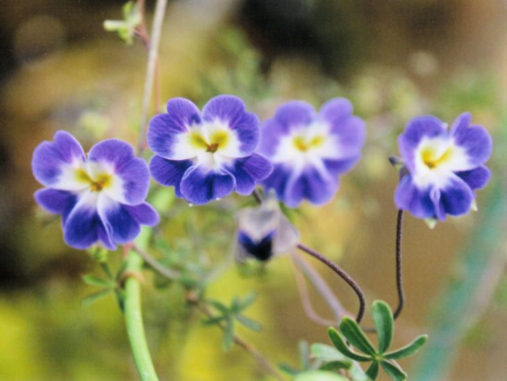 トロパエオルム・アズレウムの花