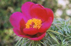 イトバシャクヤクの花