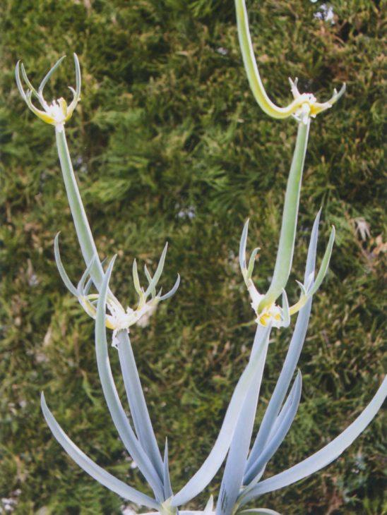 芽の伸びたヤグラネギ