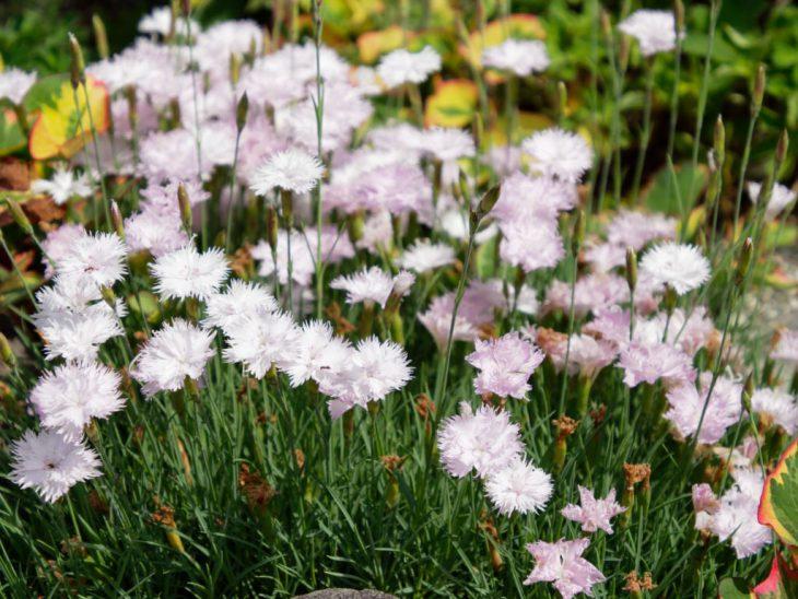 タツタナデシコの花