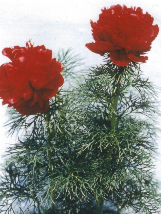八重咲きイトバシャクヤク