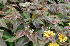 シルバードラゴンの花