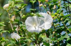 白花ムクゲ