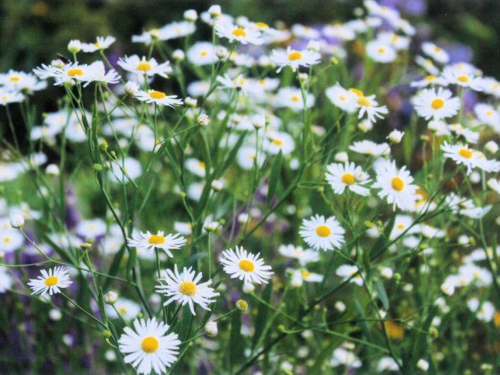 ボルトニア・アステロイデスの花