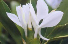 シュクシャの花