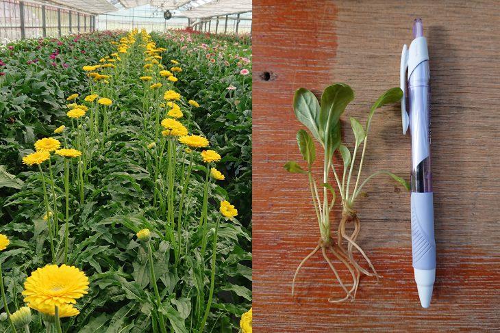 ガーベラ圃場と苗