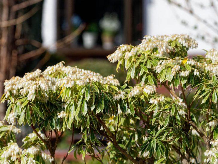 斑入りアセビの花