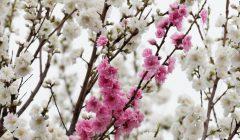 花桃絞り咲き