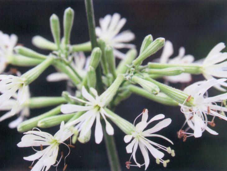 シレネ・コンフェエティの花
